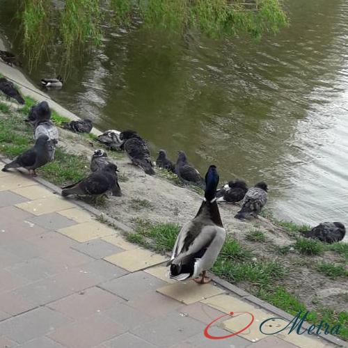 парк с утками Обухов